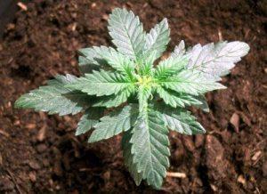 trasplante planta autofloreciente