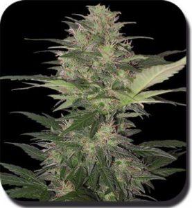 variedades de marihuana autofloreciente