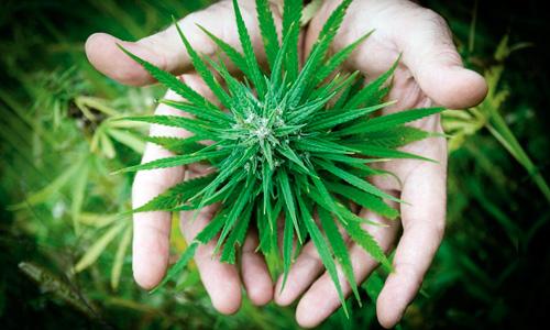 marihuana contra el cáncer