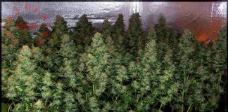 como cultivar marihuanas en interior