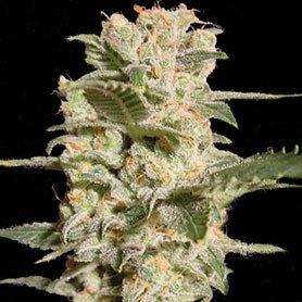 marihuanas mas potentes