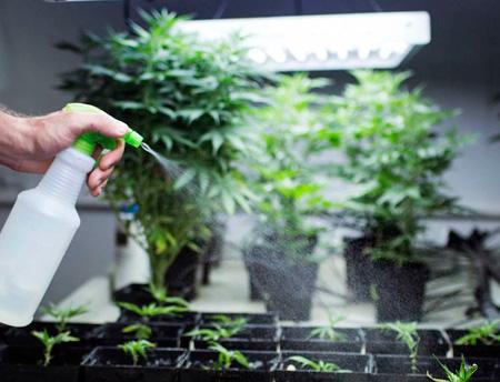 pulverizar plantas de marihuana