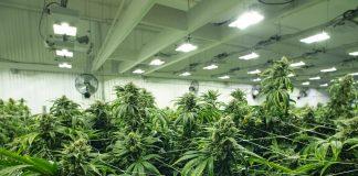 Cultivo marihuana lámparas de plasma.