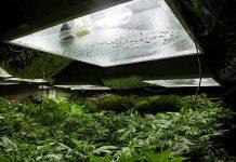 Bombillas HM para el crecimiento de marihuana.
