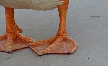 duckfoot weed