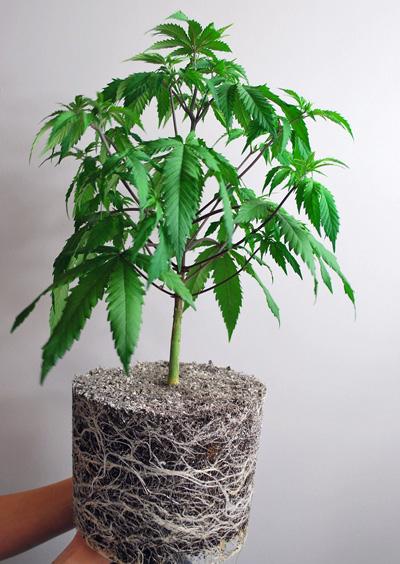 planta racies colonizadas