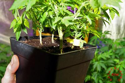 planta madre marihuana moldeada