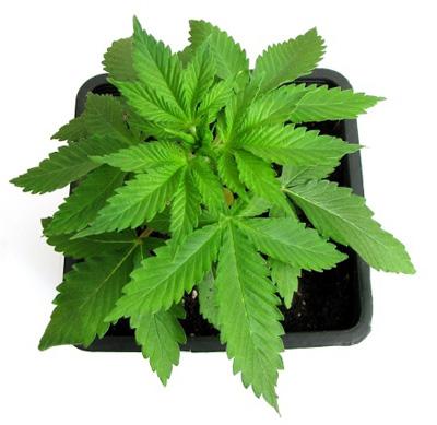 Planta madre de cannabis