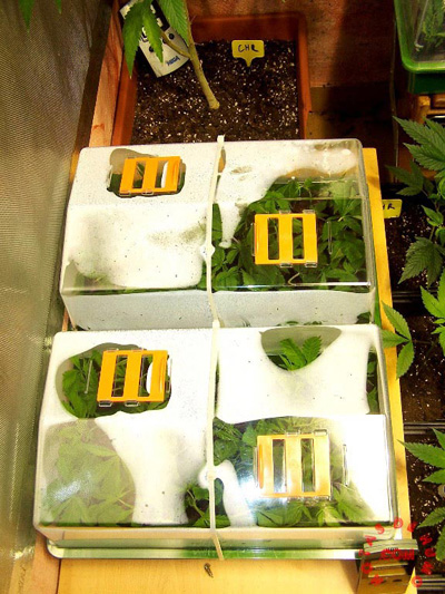 invernadero marihuana