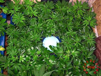 muchos esquejes marihuana
