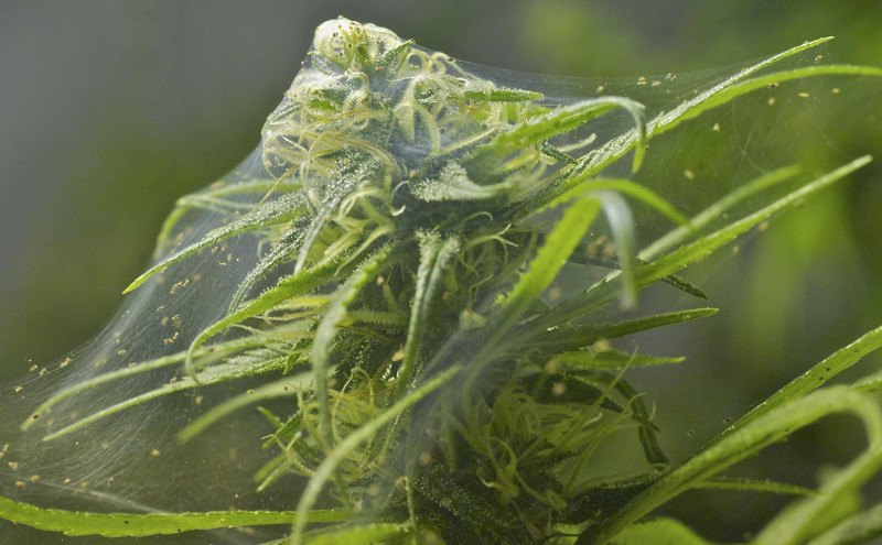 tela de araña en marihuana