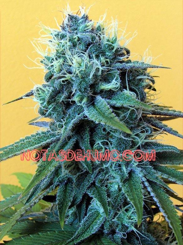 blueberry cogollo central