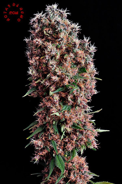 semillas de marihuana feminizadas