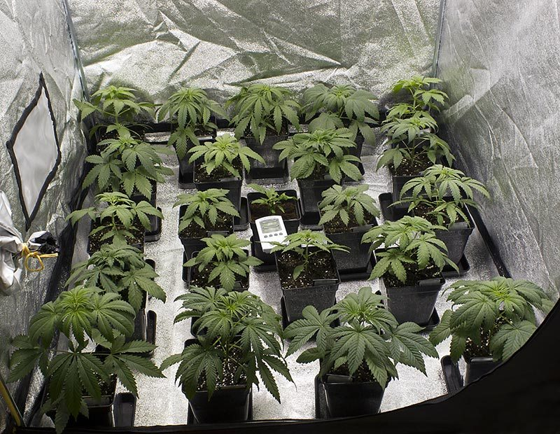 cultivo bio cannabis