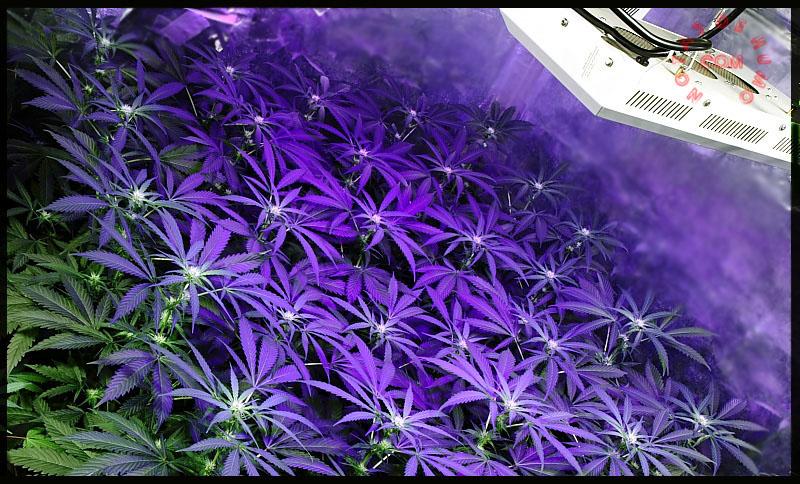 sog led marihuana