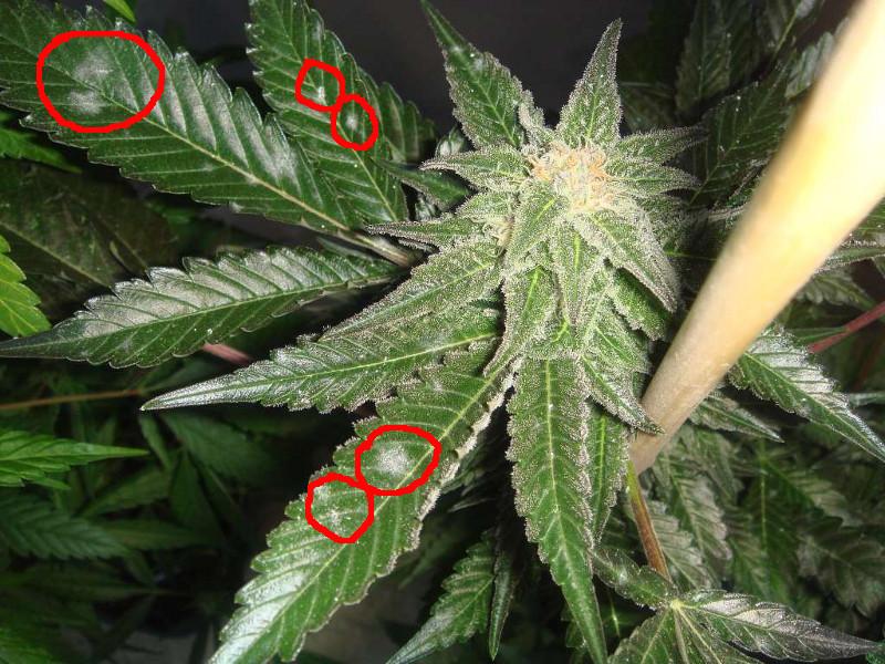 cannabis infectado de oidio