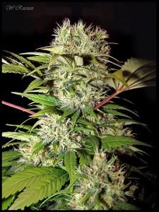 plantas de marihuana índicas