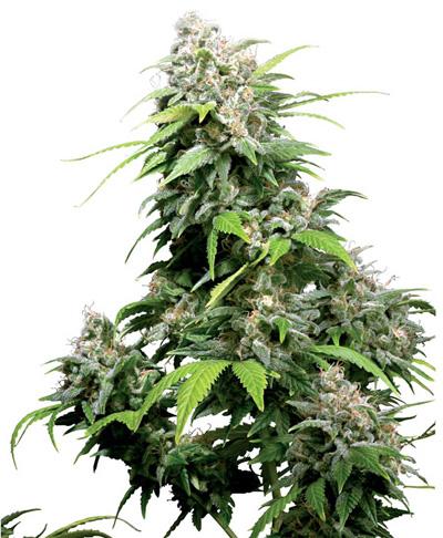 que se siente fumar marihuana indica