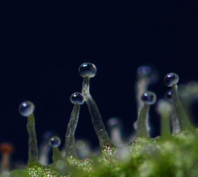 cannabinoides dentro de tricomas