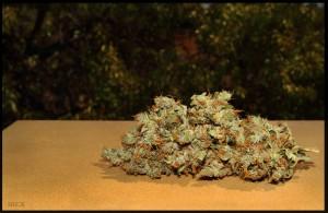 cogollo de plantas de marihuana