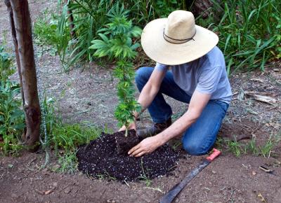 como cultivar marihuana exterior