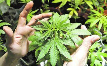 como plantar marihuana en casa