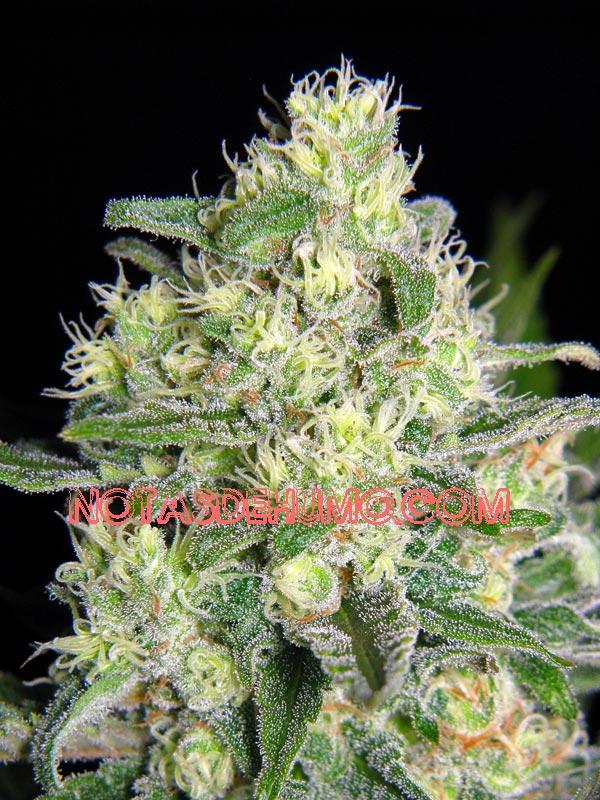 critical bilbo marihuana