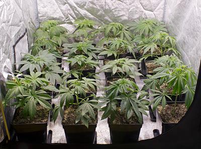 plantas de marihuana en interior