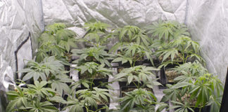 marihuana organica en doce litros