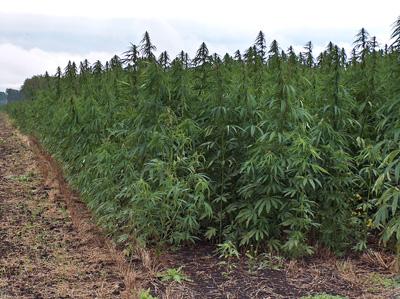 cultivo autofloreciente marihuana