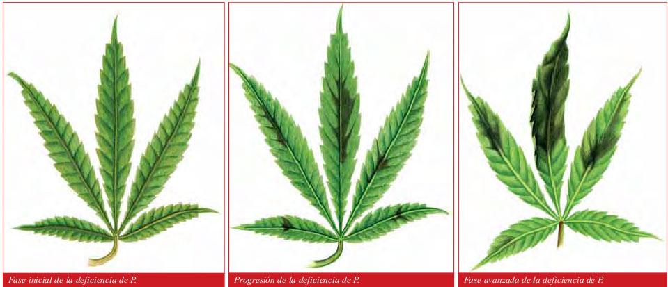 carencia fosforo marihuana