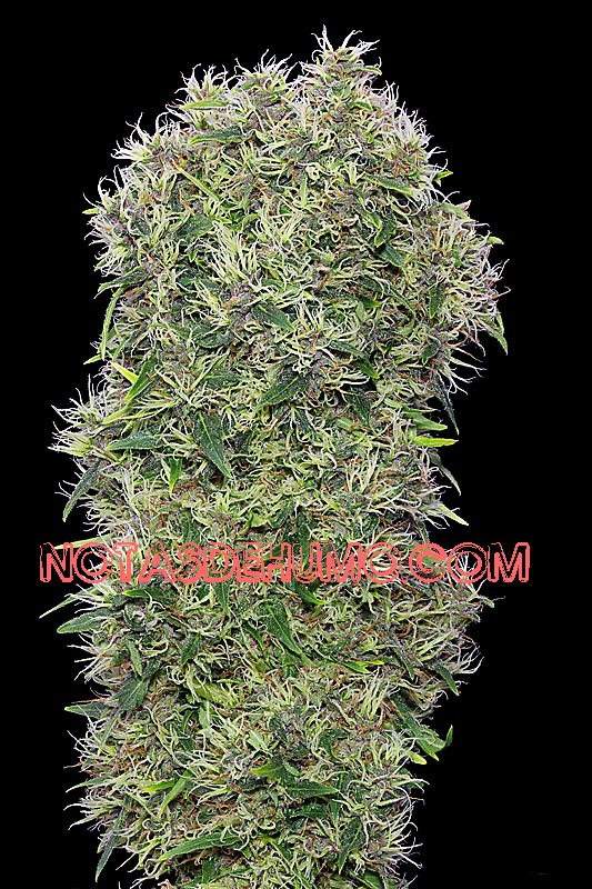 frisian dew marihuana cogollo