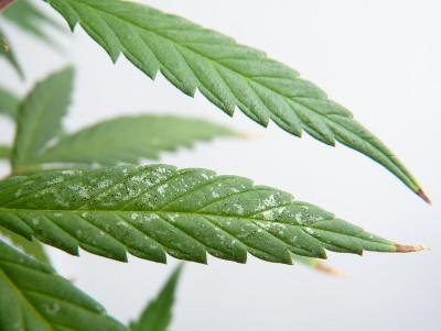 hojas con trips