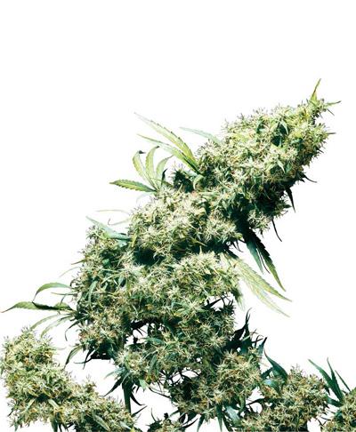 que se siente fumar marihuana sativa