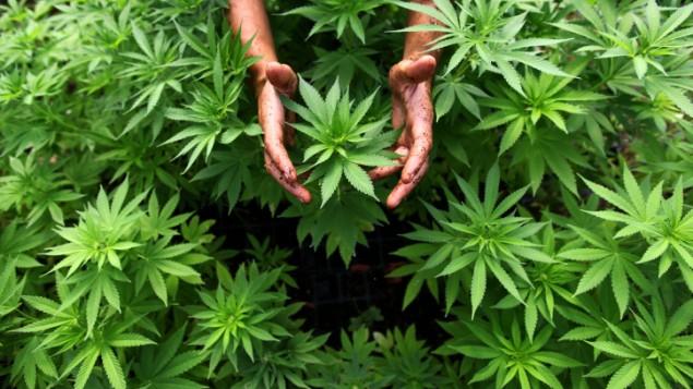 marihuana medicinal cultivo