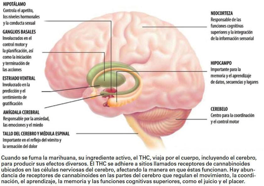 efectos marihuana cerebro