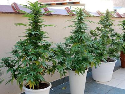 marihuana en macetas