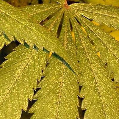 hojas de marihuana con arañas