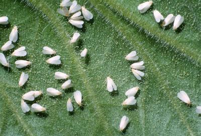 mosca blanca en enves de hoja