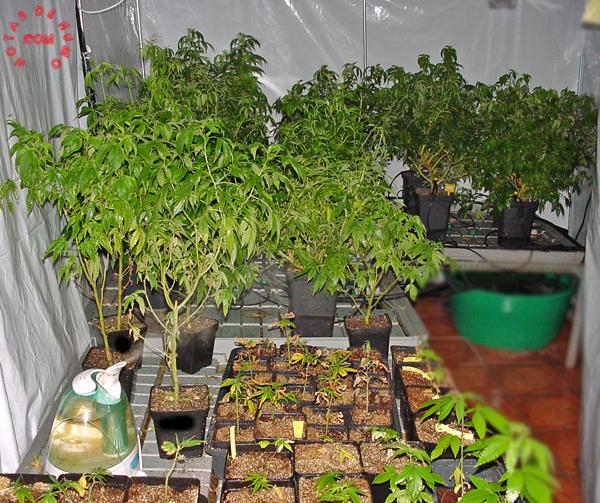 plantas de marihuana con araña roja