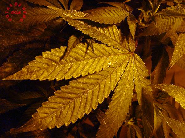 araña roja en marihuana