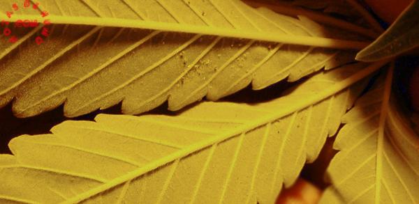 araña roja campando en marihuana
