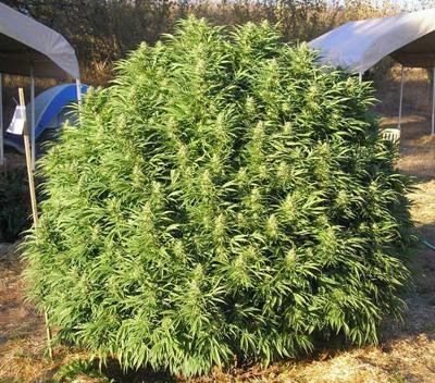 marihuana guerrilla