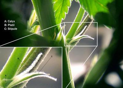pre-flor marihuana hembra