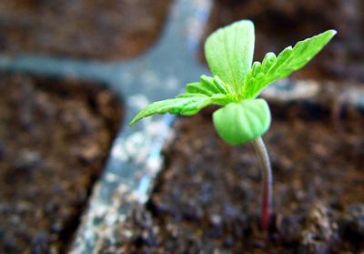 plantula de marihuana