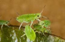 pulgón-verde