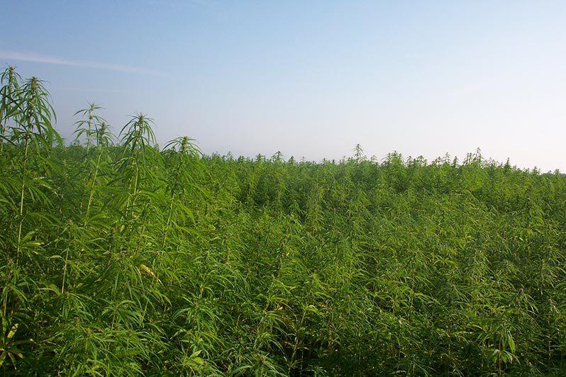 que es la marihuana fibras