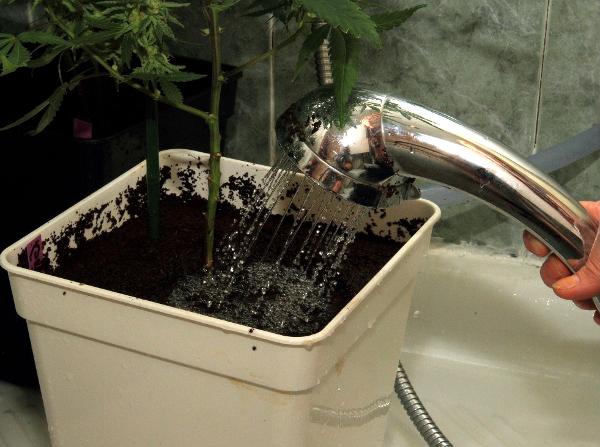 Resultado de imagen de raices cannabis