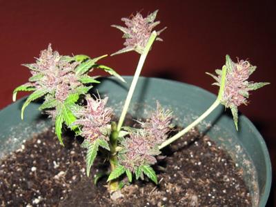 planta para revegetar