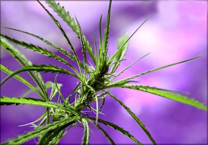plantas de marihuana sativa